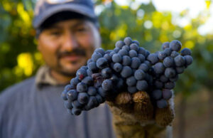 grapes, vineyard, sustainability